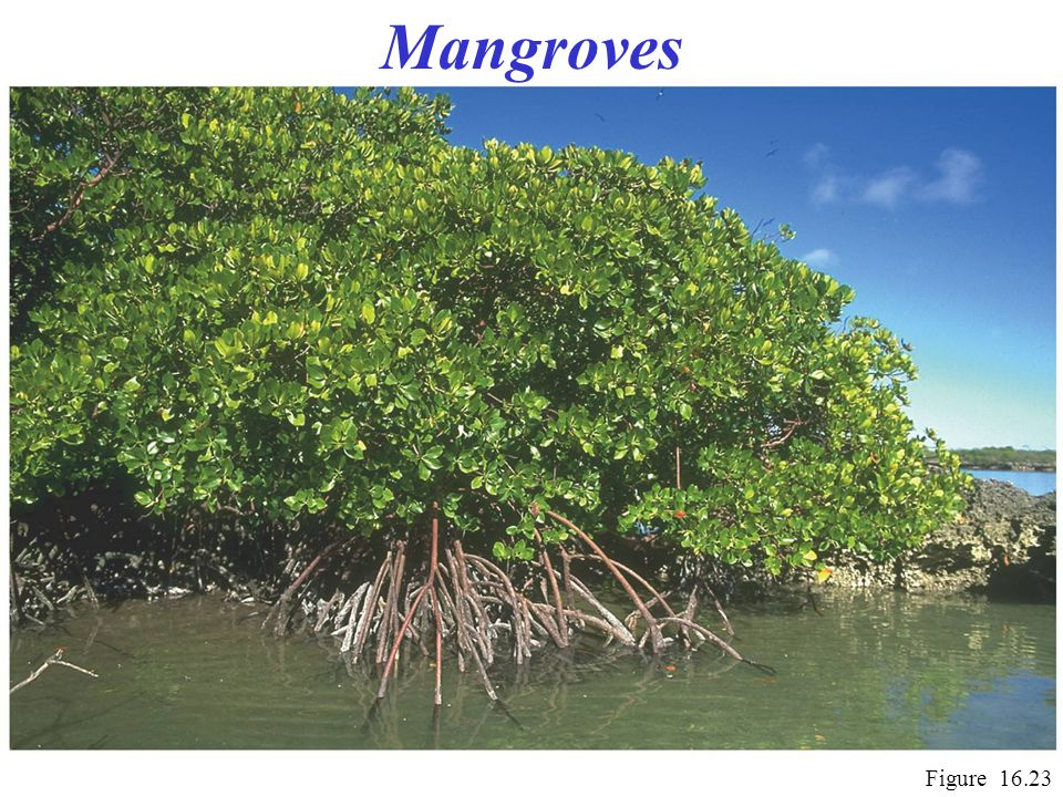 Mangroves Figure 16.23