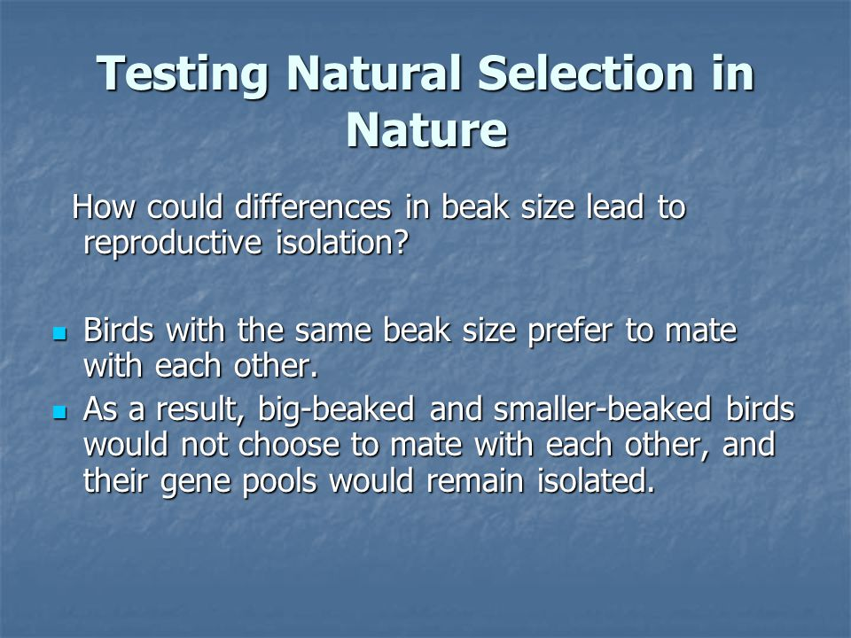 Testing Natural Selection in Nature How could differences in beak size lead to reproductive isolation? How could differences in beak size lead to repr