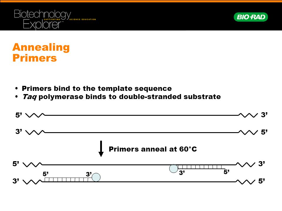 Annealing Primers 3' 5' 3' 5' 3' 5' 3' 5' Primers bind to the template sequence Taq polymerase binds to double-stranded substrate Primers anneal at 60
