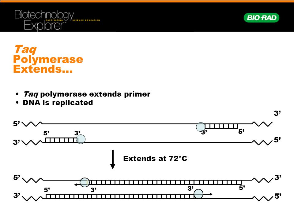 Taq Polymerase Extends… Taq polymerase extends primer DNA is replicated Extends at 72°C 3' 5' 3' 5' 3'5' 3' 5' 3' 5' 3'5' 3' 5' 3'