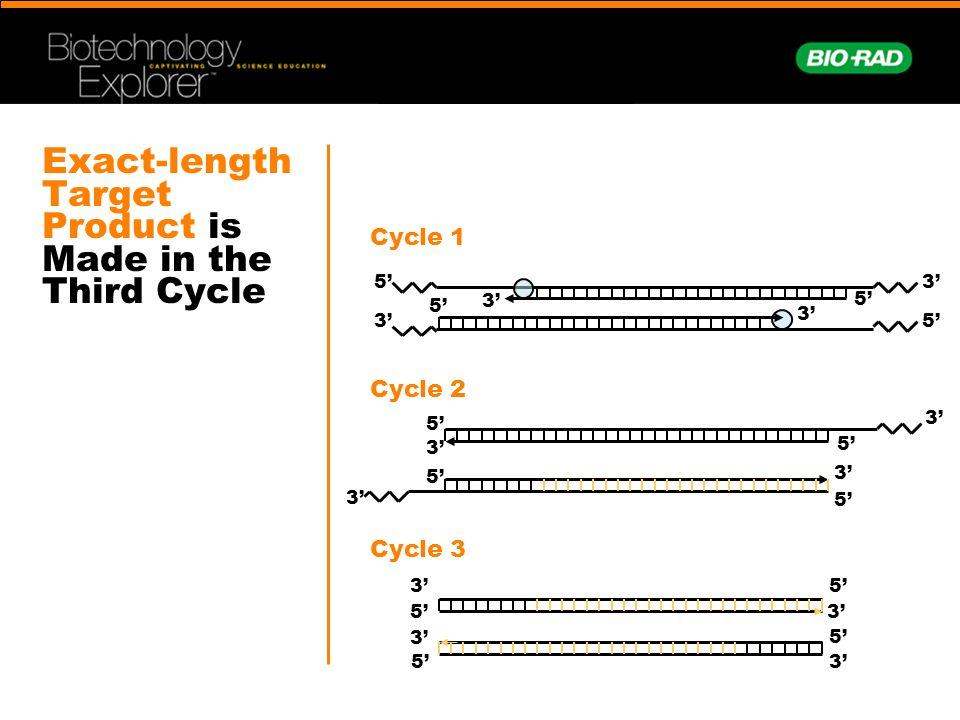 Exact-length Target Product is Made in the Third Cycle 3' 5' 3' 5' 3' 5' 3' 5' 3' 5' 3' 5' 3' 5' Cycle 1 Cycle 2 Cycle 3
