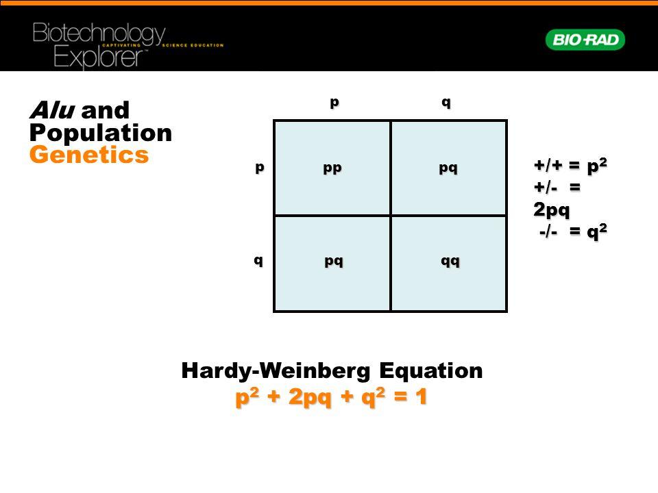 Alu and Population Genetics +/+ = p 2 +/- = 2pq -/- = q 2 -/- = q 2 pp pq qqpqppqq Hardy-Weinberg Equation p 2 + 2pq + q 2 = 1