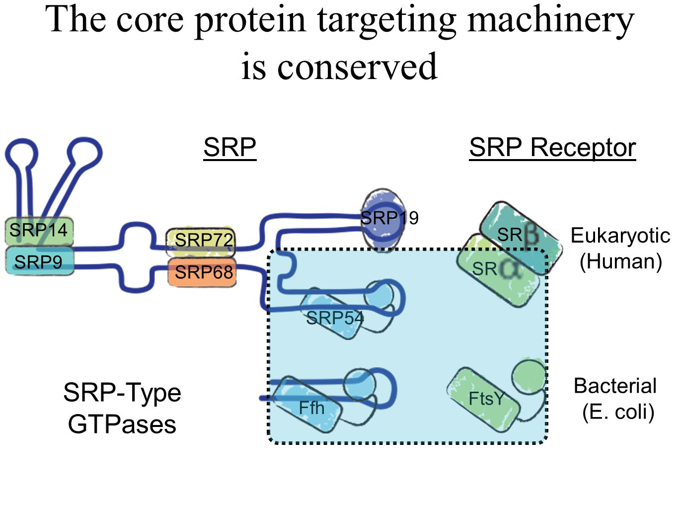 The core protein targeting machinery is conserved Eukaryotic (Human) Bacterial (E. coli) Ffh FtsY SR SRP54 SRP68 SRP72 SRP19 SRP9 SRP14 SRPSRP Recepto