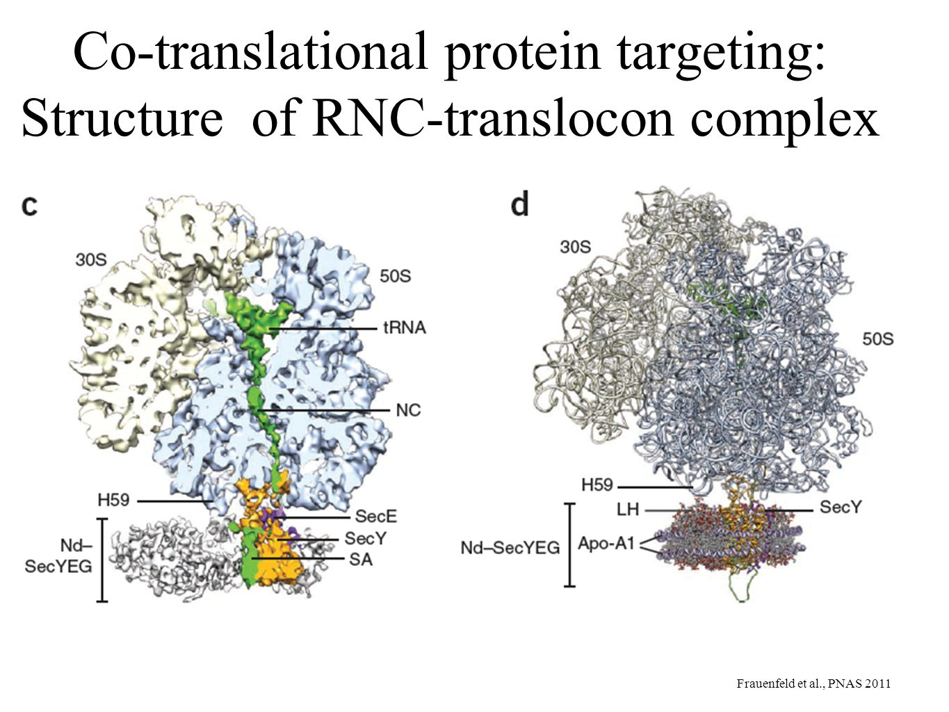 Co-translational protein targeting: Structure of RNC-translocon complex Frauenfeld et al., PNAS 2011