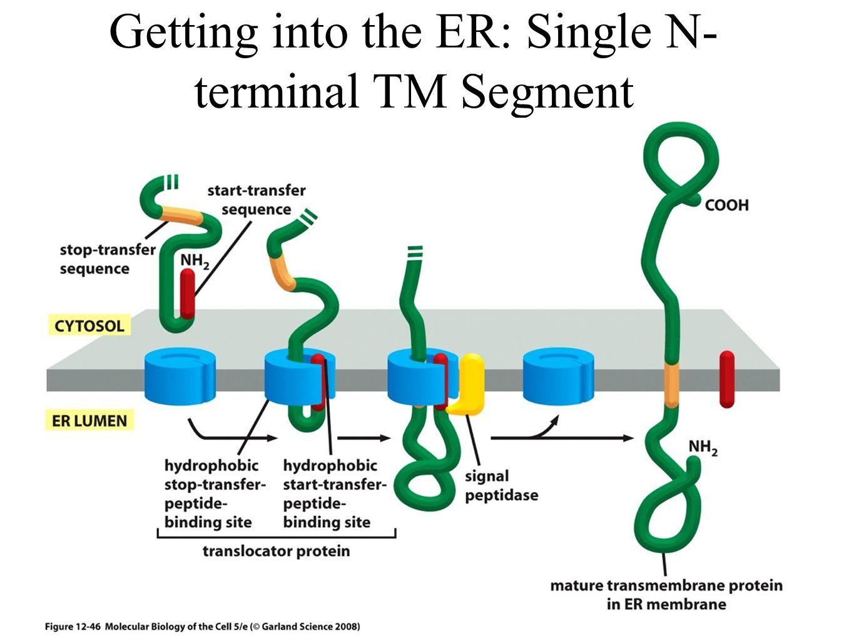 Getting into the ER: Single N- terminal TM Segment