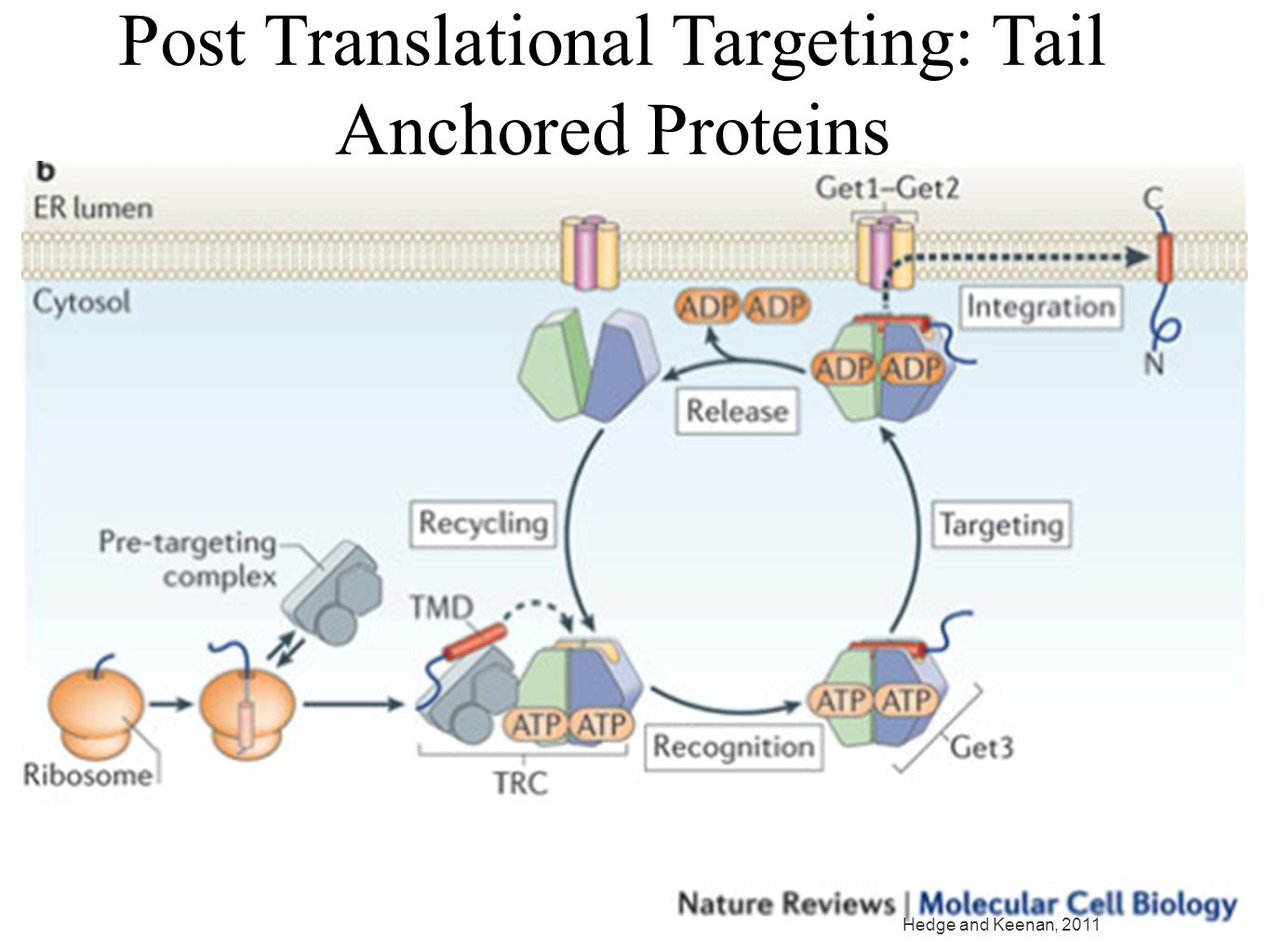 Post Translational Targeting: Tail Anchored Proteins Hedge and Keenan, 2011
