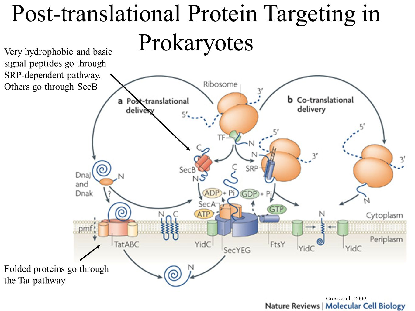 Post-translational Protein Targeting in Prokaryotes Cross et al., 2009 Very hydrophobic and basic signal peptides go through SRP-dependent pathway.