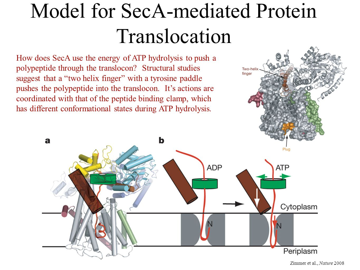 Model for SecA-mediated Protein Translocation Zimmer et al., Nature 2008 How does SecA use the energy of ATP hydrolysis to push a polypeptide through the translocon.