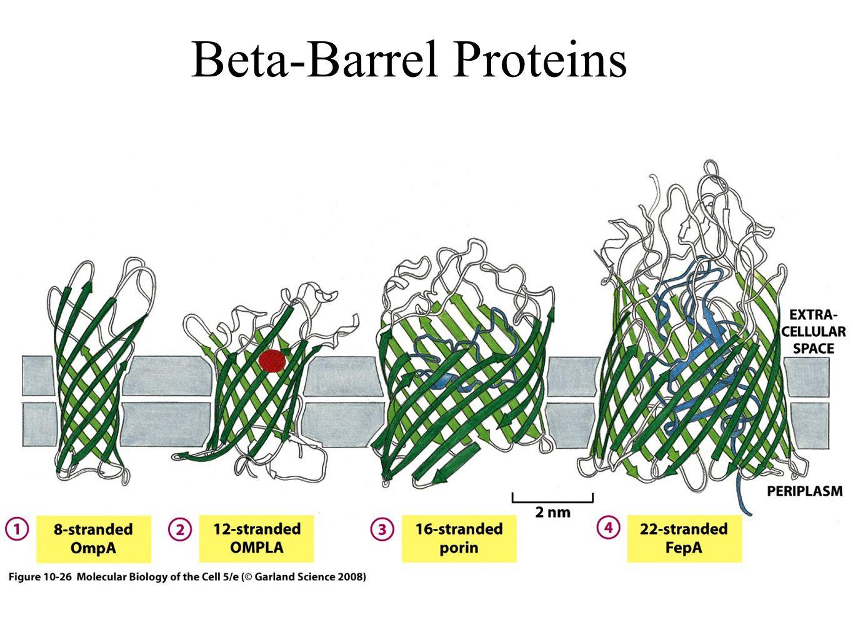 Beta-Barrel Proteins