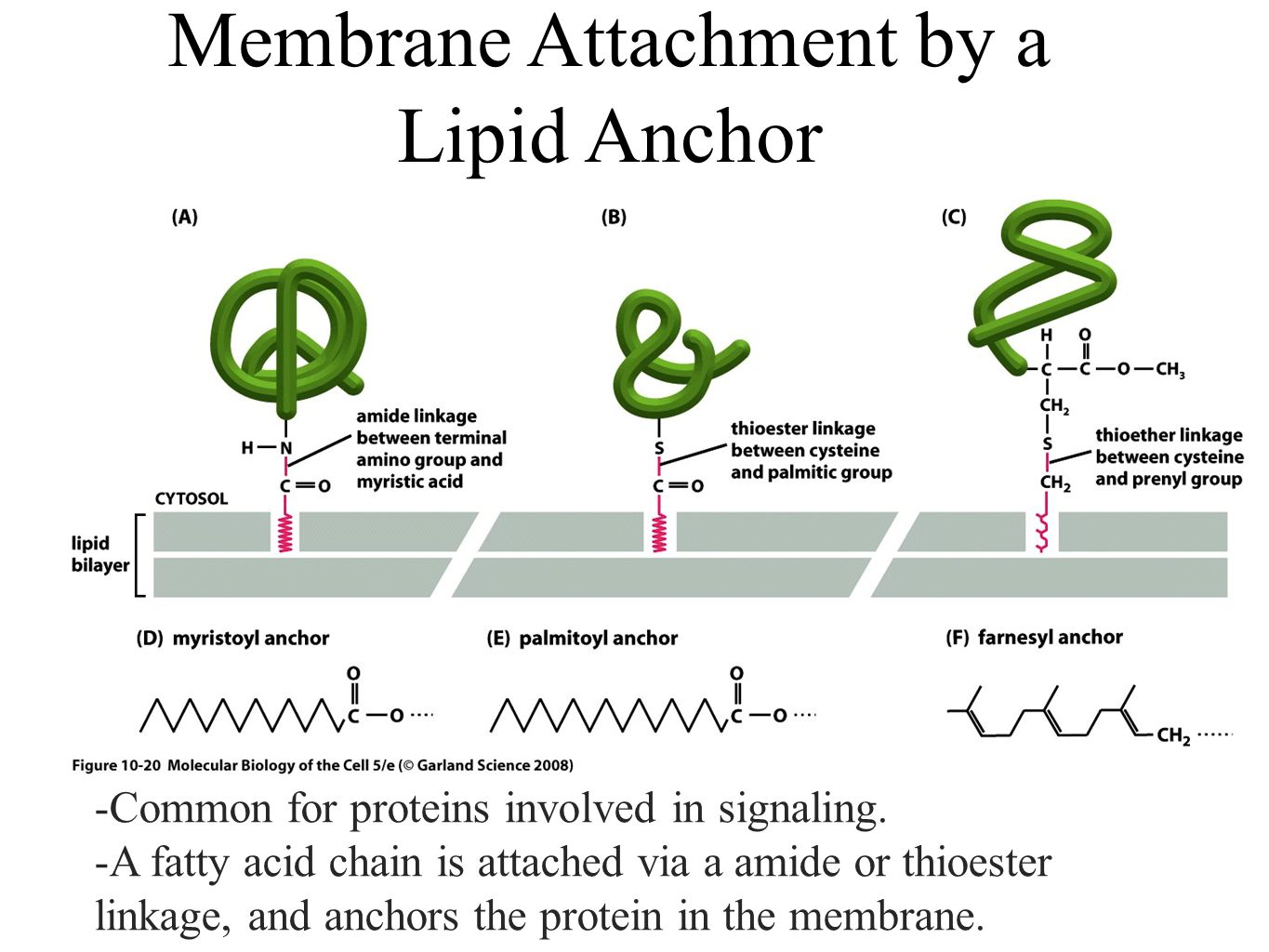 Membrane Attachment by a Lipid Anchor -Common for proteins involved in signaling.