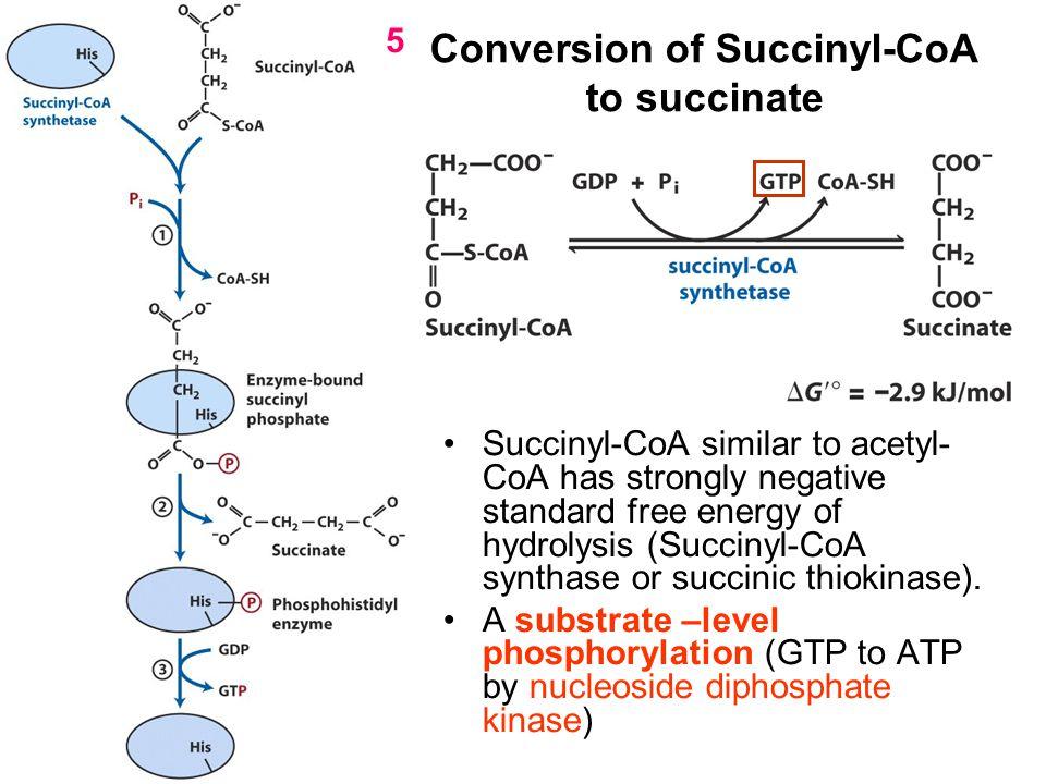Conversion of Succinyl-CoA to succinate Succinyl-CoA similar to acetyl- CoA has strongly negative standard free energy of hydrolysis (Succinyl-CoA syn