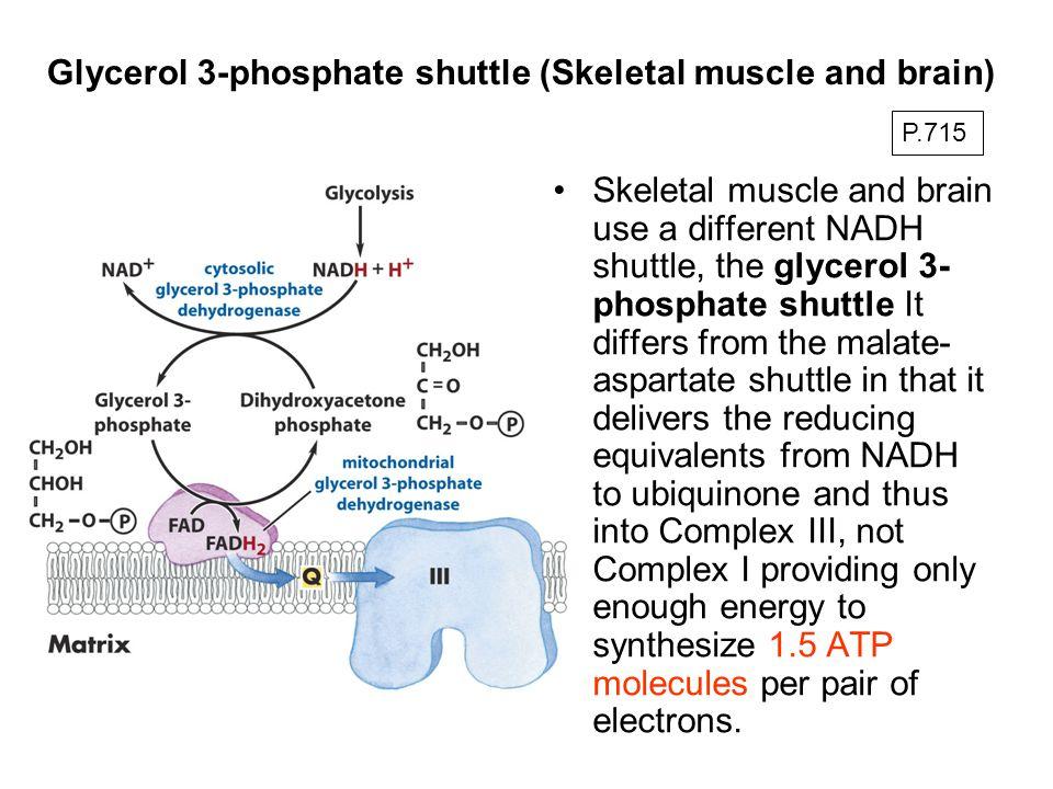 Glycerol 3-phosphate shuttle (Skeletal muscle and brain) Skeletal muscle and brain use a different NADH shuttle, the glycerol 3- phosphate shuttle It