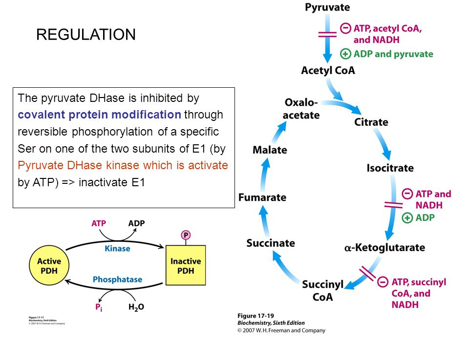 REGULATION The pyruvate DHase is inhibited by covalent protein modification through reversible phosphorylation of a specific Ser on one of the two sub
