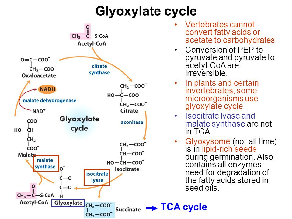 Glyoxylate cycle Vertebrates cannot convert fatty acids or acetate to carbohydrates Conversion of PEP to pyruvate and pyruvate to acetyl-CoA are irrev