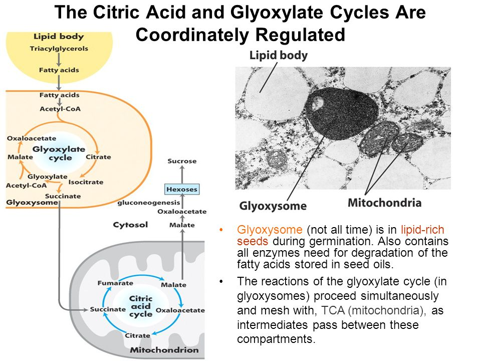 The Citric Acid and Glyoxylate Cycles Are Coordinately Regulated Glyoxysome (not all time) is in lipid-rich seeds during germination. Also contains al