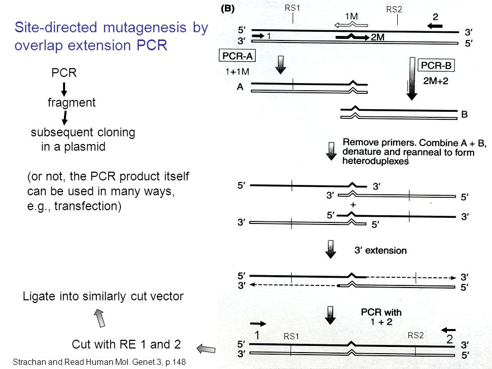 18 PCR fragment subsequent cloning in a plasmid (or not, the PCR product itself can be used in many ways, e.g., transfection) Cut with RE 1 and 2 Ligate into similarly cut vector RS1 RS2 RS1 RS2 Site-directed mutagenesis by overlap extension PCR 1 2 Strachan and Read Human Mol.