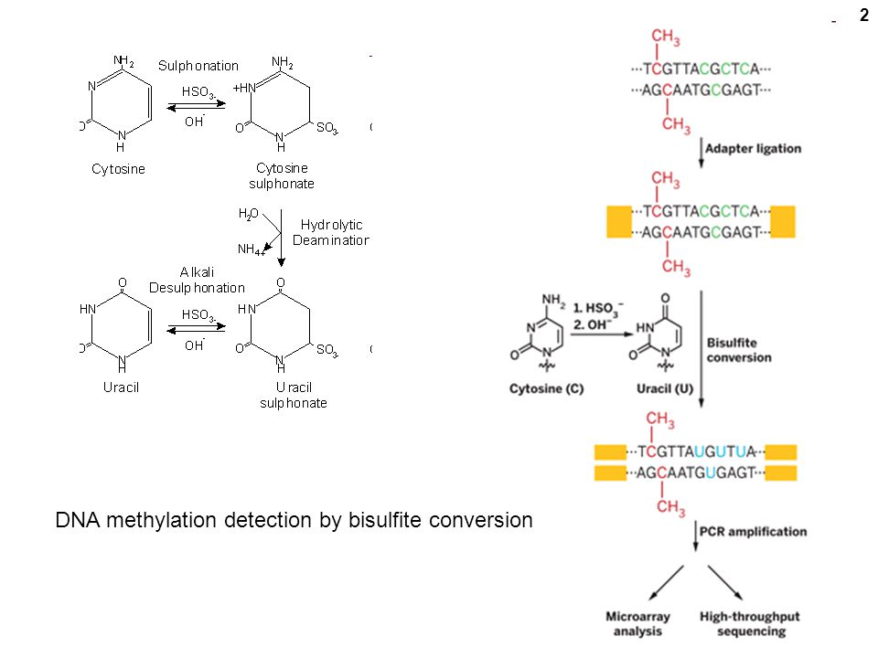 2 DNA methylation detection by bisulfite conversion