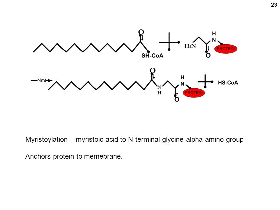 23 Myristoylation – myristoic acid to N-terminal glycine alpha amino group Anchors protein to memebrane.
