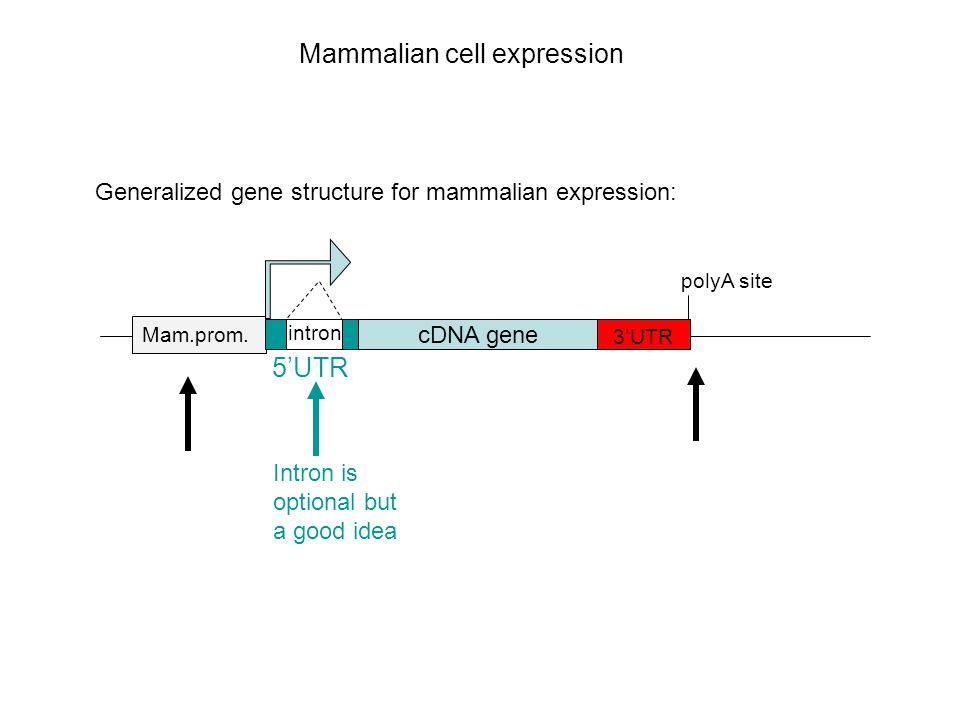 Mammalian cell expression Generalized gene structure for mammalian expression: cDNA gene Mam.prom.