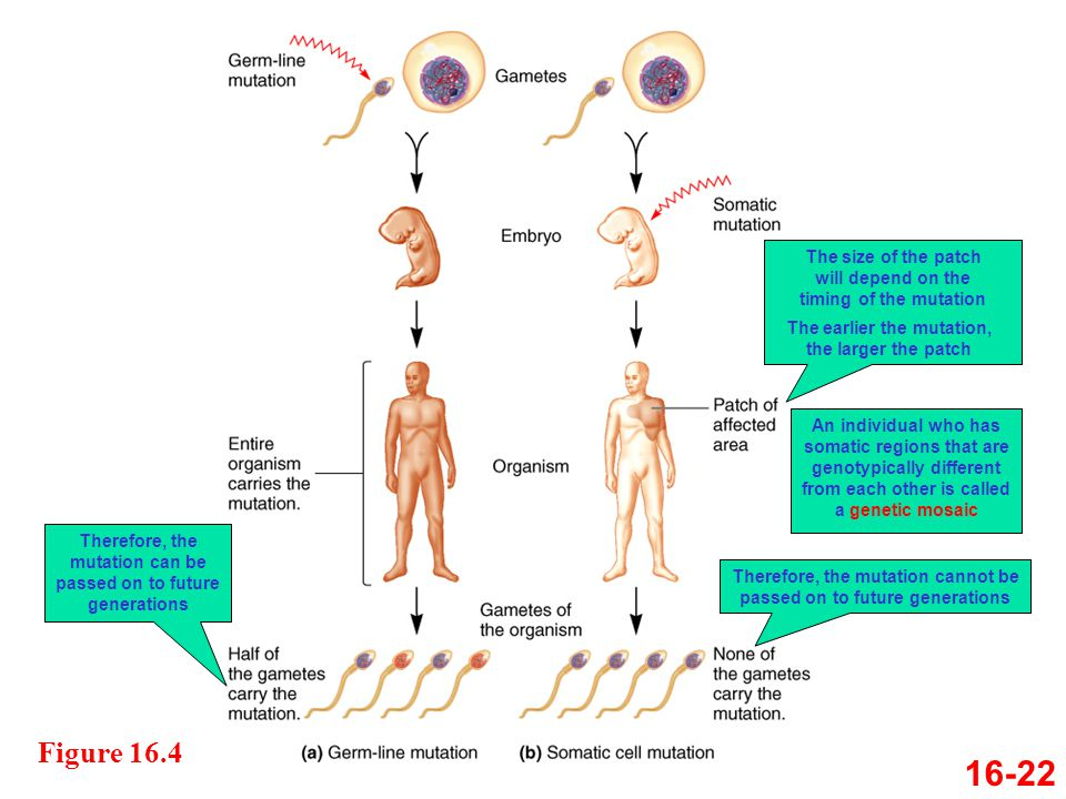 Figure 16.4 16-22 Therefore, the mutation can be passed on to future generations The size of the patch will depend on the timing of the mutation The e