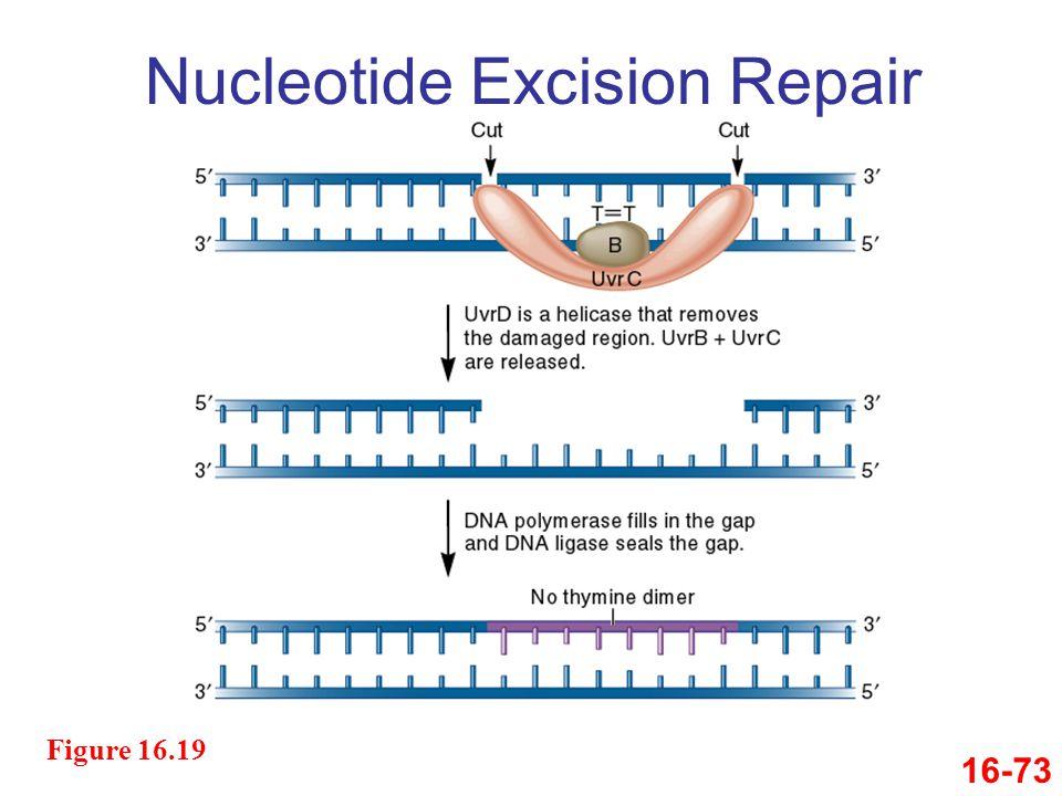 16-73 Figure 16.19 Nucleotide Excision Repair