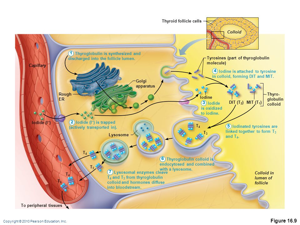Copyright © 2010 Pearson Education, Inc. Figure 16.9 To peripheral tissues T3T3 T3T3 T3T3 T4T4 T4T4 Lysosome Tyrosines (part of thyroglobulin molecule