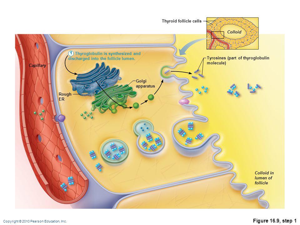 Copyright © 2010 Pearson Education, Inc. Figure 16.9, step 1 Tyrosines (part of thyroglobulin molecule) Rough ER Capillary Colloid Colloid in lumen of