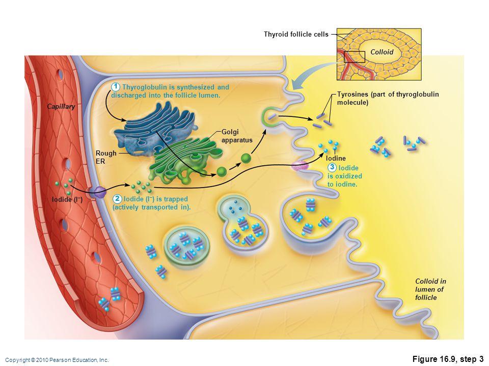 Copyright © 2010 Pearson Education, Inc. Figure 16.9, step 3 Tyrosines (part of thyroglobulin molecule) Iodine Iodide (I – ) Rough ER Capillary Colloi