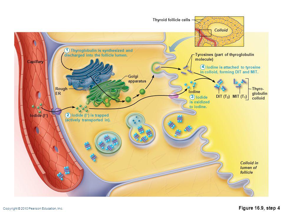 Copyright © 2010 Pearson Education, Inc. Figure 16.9, step 4 Tyrosines (part of thyroglobulin molecule) DIT (T 2 ) Iodine MIT (T 1 ) Thyro- globulin c