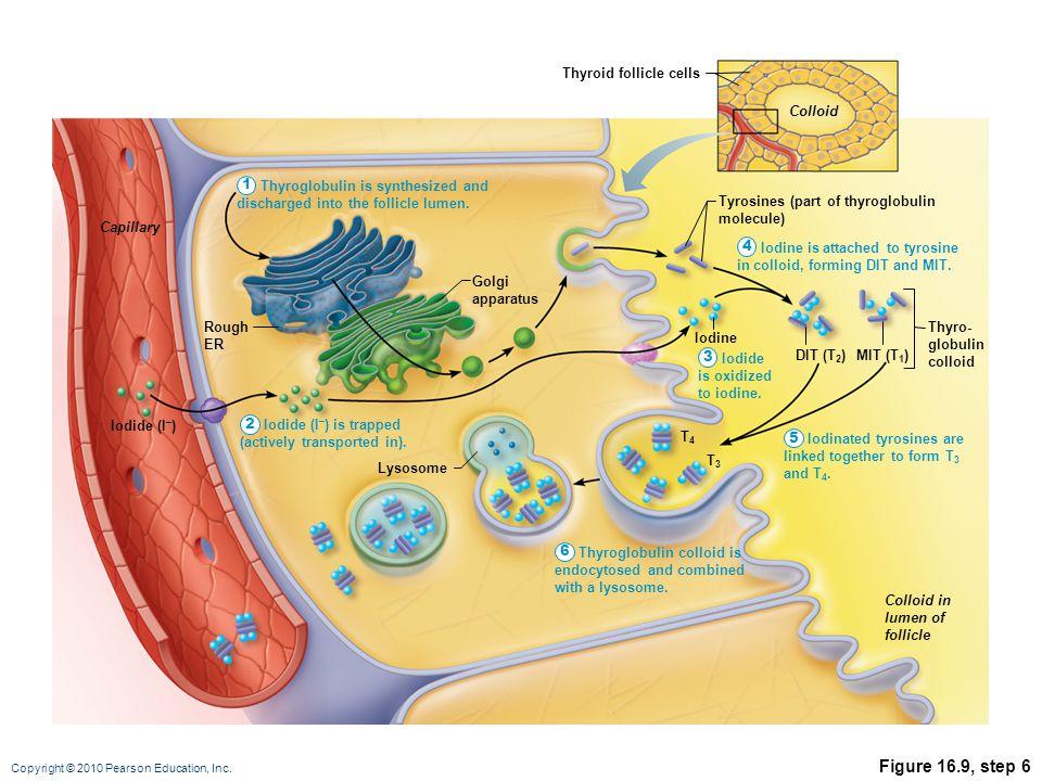 Copyright © 2010 Pearson Education, Inc. Figure 16.9, step 6 T3T3 Lysosome Tyrosines (part of thyroglobulin molecule) T4T4 DIT (T 2 ) Iodine MIT (T 1