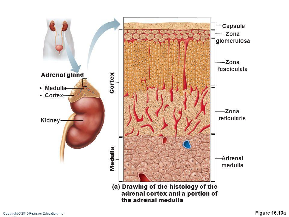 Copyright © 2010 Pearson Education, Inc. Figure 16.13a Cortex Kidney Medulla Adrenal gland Capsule Zona glomerulosa Zona fasciculata Zona reticularis