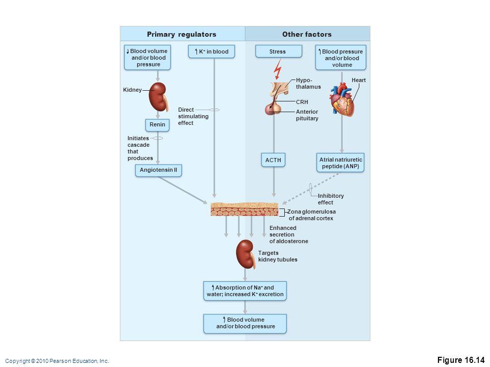 Copyright © 2010 Pearson Education, Inc. Figure 16.14 Primary regulatorsOther factors Blood volume and/or blood pressure Angiotensin II Blood pressure