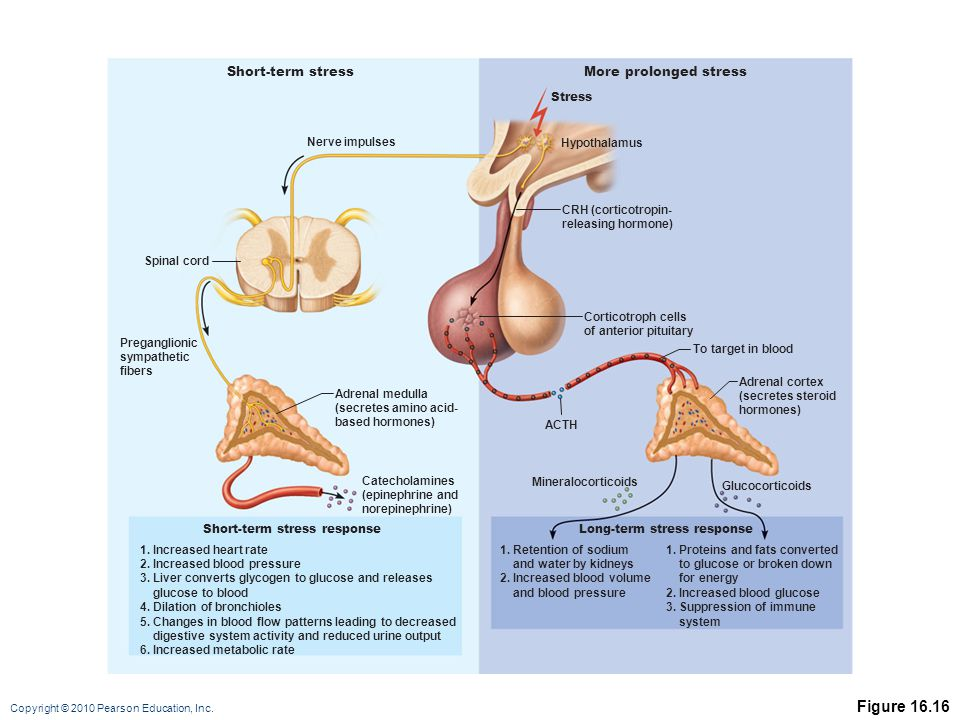 Copyright © 2010 Pearson Education, Inc. Figure 16.16 Short-term stressMore prolonged stress Stress Hypothalamus CRH (corticotropin- releasing hormone