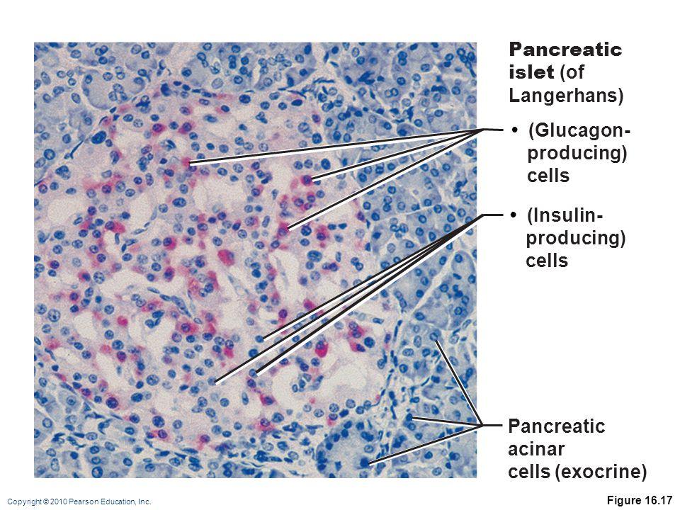 Copyright © 2010 Pearson Education, Inc. Figure 16.17 Pancreatic islet (of Langerhans) (Glucagon- producing) cells (Insulin- producing) cells Pancreat