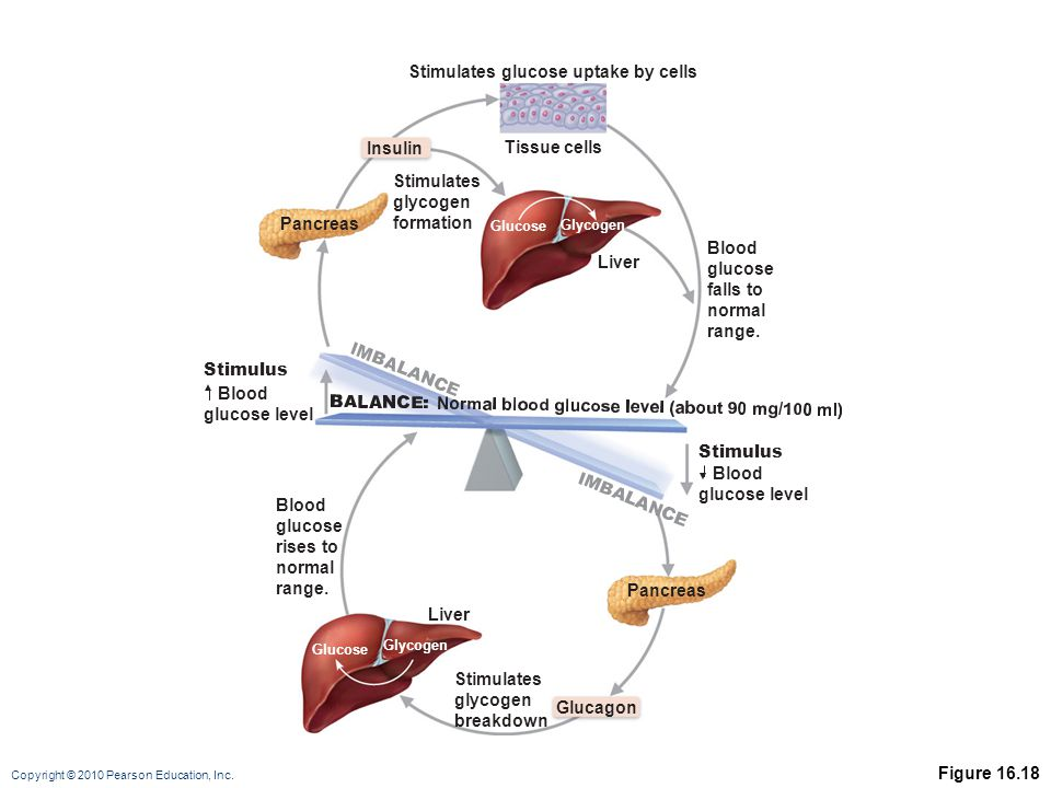 Copyright © 2010 Pearson Education, Inc. Figure 16.18 Liver Tissue cells Stimulates glucose uptake by cells Stimulates glycogen formation Pancreas Ins