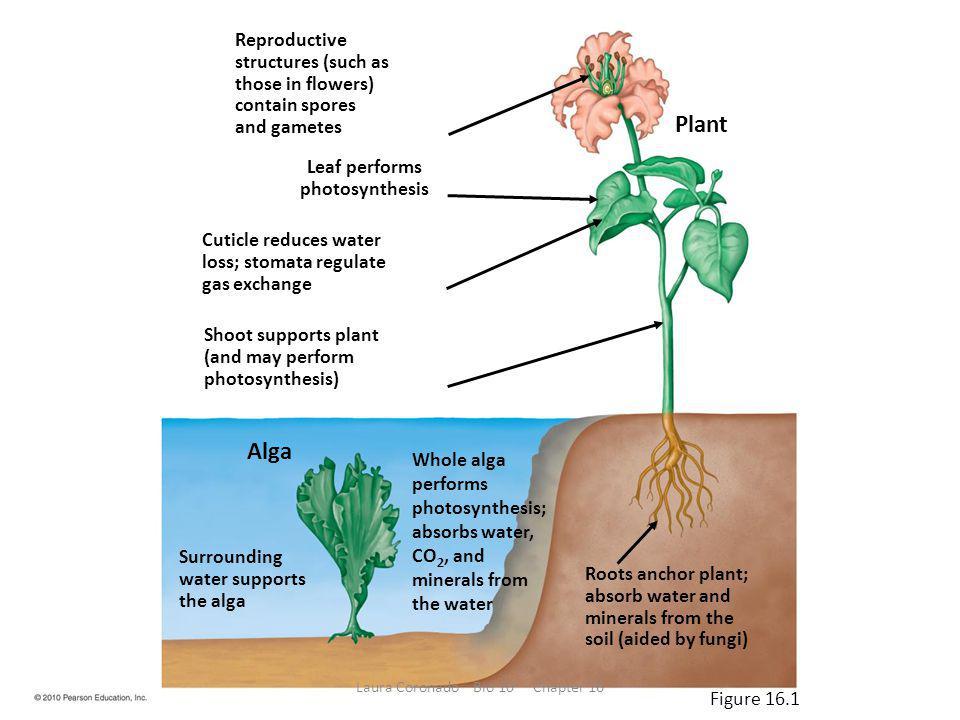 Bryophytes Ferns Gymnosperms Angiosperms Figure 16.UN02 Laura Coronado Bio 10 Chapter 16