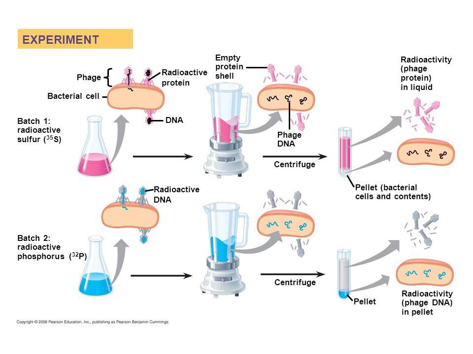 EXPERIMENT Phage DNA Bacterial cell Radioactive protein Radioactive DNA Batch 1: radioactive sulfur ( 35 S) Batch 2: radioactive phosphorus ( 32 P) Empty protein shell Phage DNA Centrifuge Pellet Pellet (bacterial cells and contents) Radioactivity (phage protein) in liquid Radioactivity (phage DNA) in pellet
