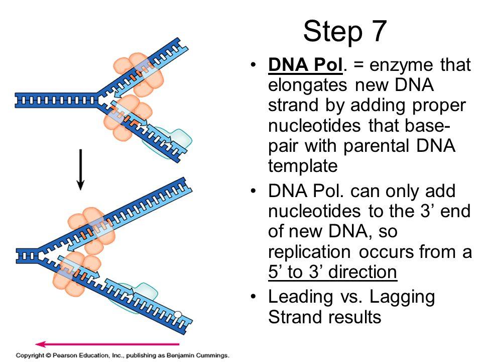 Step 7 DNA Pol.
