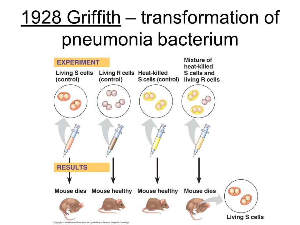 1928 Griffith – transformation of pneumonia bacterium