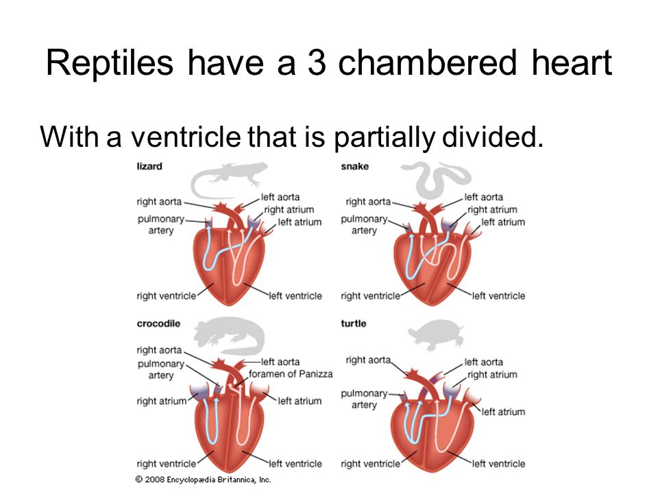 Reptiles have a 3 chambered heart With a ventricle that is partially divided.