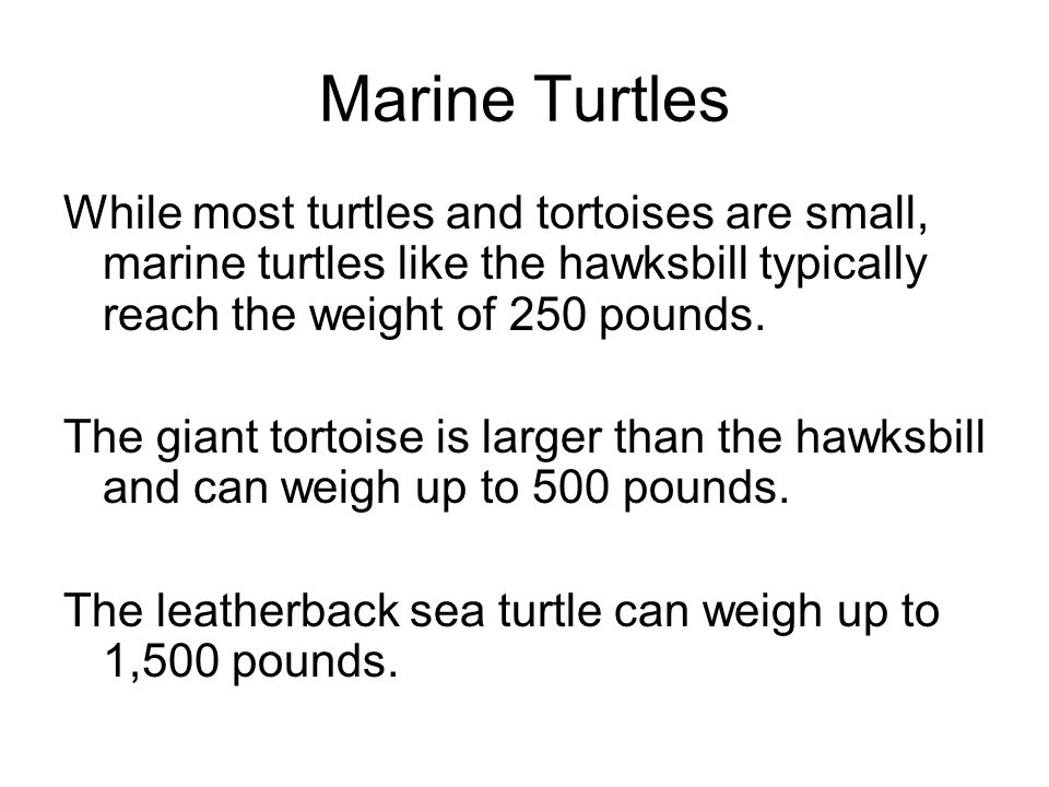 Marine Turtles While most turtles and tortoises are small, marine turtles like the hawksbill typically reach the weight of 250 pounds.