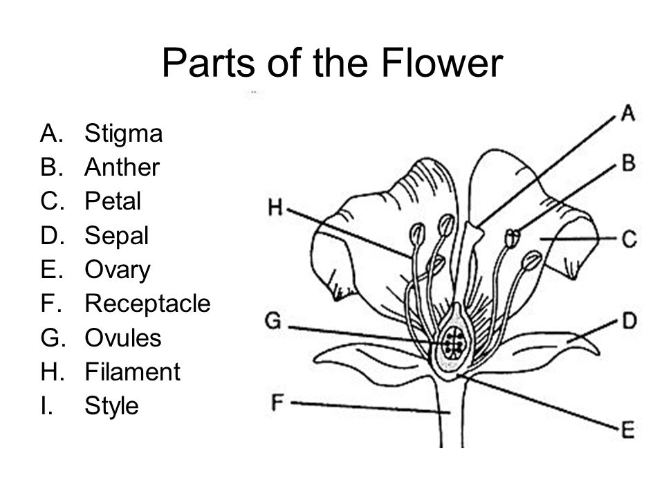Parts of the Flower A.Stigma B.Anther C.Petal D.Sepal E.Ovary F.Receptacle G.Ovules H.Filament I.Style