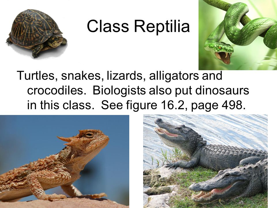 Class Reptilia Turtles, snakes, lizards, alligators and crocodiles.