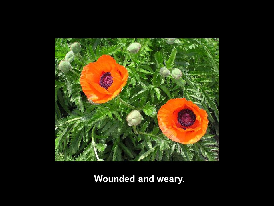Wounded and weary.