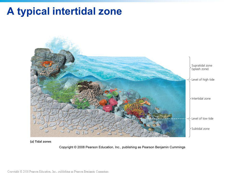 Copyright © 2008 Pearson Education, Inc., publishing as Pearson Benjamin Cummings A typical intertidal zone