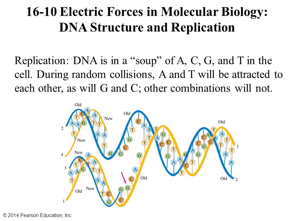Replication: DNA is in a soup of A, C, G, and T in the cell.