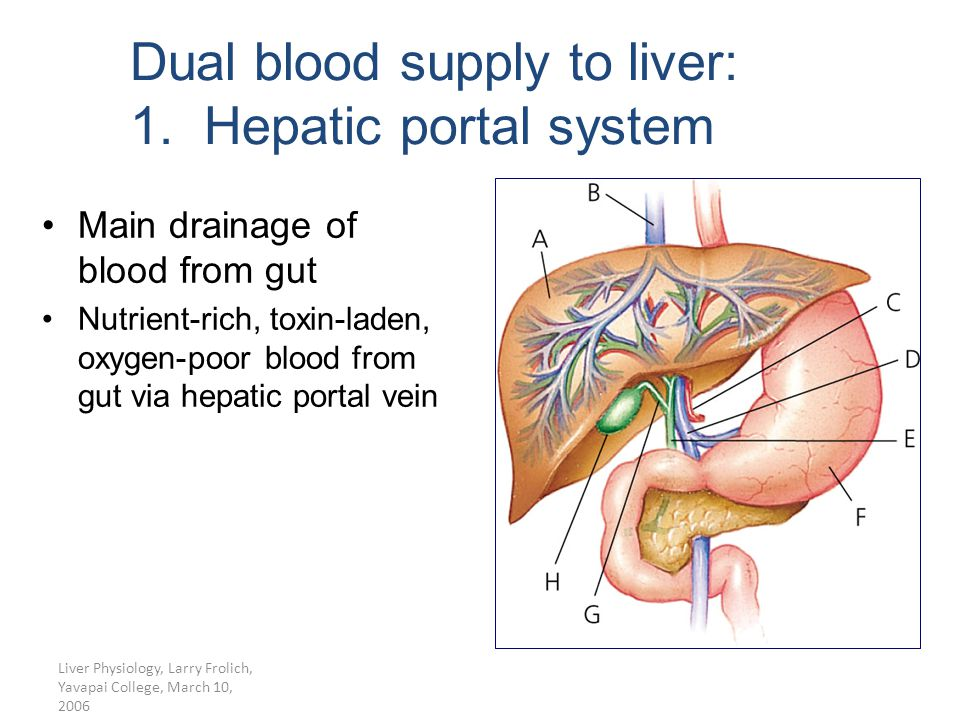 Liver Physiology, Larry Frolich, Yavapai College, March 10, 2006 Dual blood supply to liver: 1. Hepatic portal system Main drainage of blood from gut