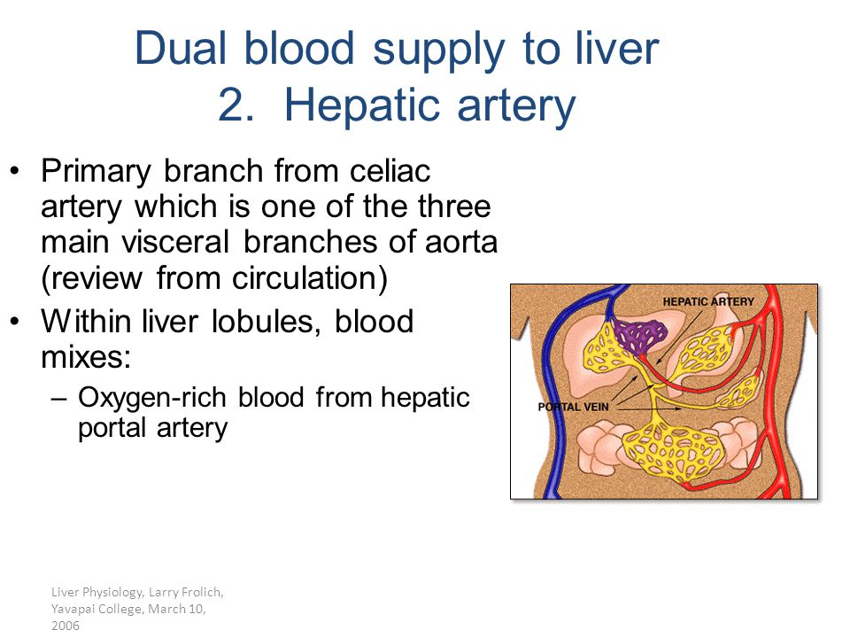 Liver Physiology, Larry Frolich, Yavapai College, March 10, 2006 Primary branch from celiac artery which is one of the three main visceral branches of