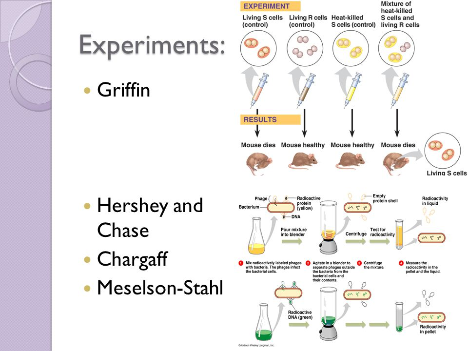 Experiments: Griffin Hershey and Chase Chargaff Meselson-Stahl