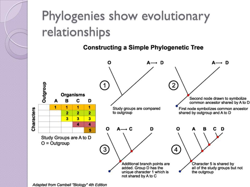 Phylogenies show evolutionary relationships